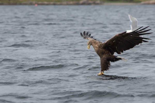 White-tailed eagle testing the water