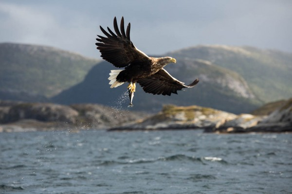 White-tailed eagle showing the loot
